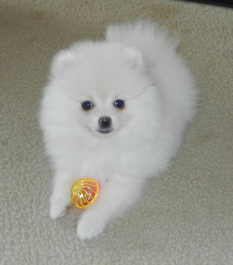 Pomeranian Puppies For Sale: Tiny Pomeranian Puppies For Sale In Texas