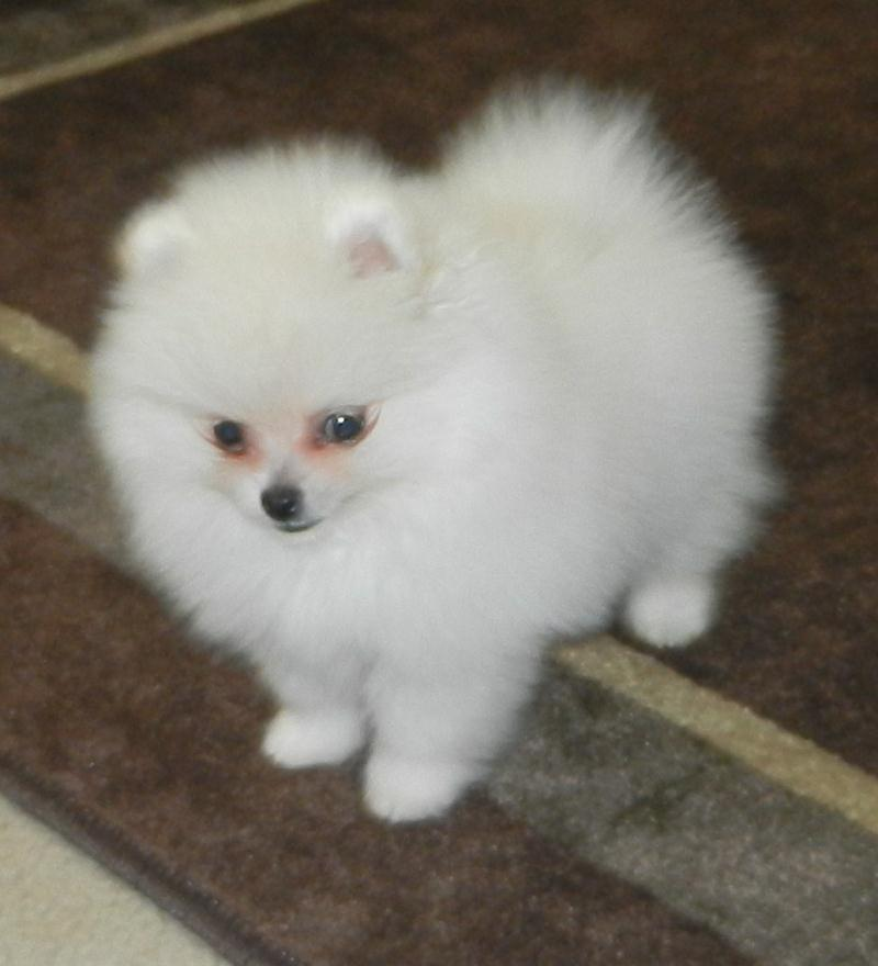 pomeranian adults price info 4704